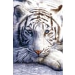 "Ace Framing ""White Tiger Siberian Safari"" Framed Poster, 36"" x 24"""
