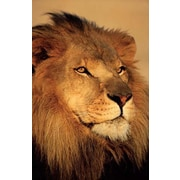 "Ace Framing ""Lion Close Up"" Framed Poster, 36"" x 24"""