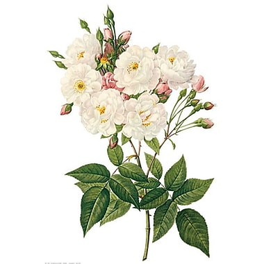 Blush Noisette Rose by Redoute 1705-65202, Canvas, 24