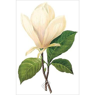Saucer Magnolia by Redoute, Canvas, 24