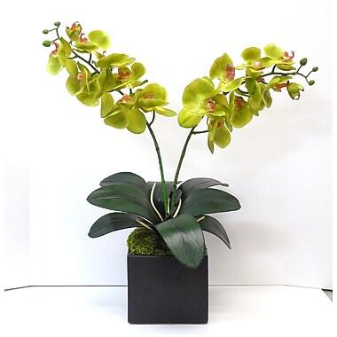 Tree Masters Inc. Phalaenopsis Orchid; Green