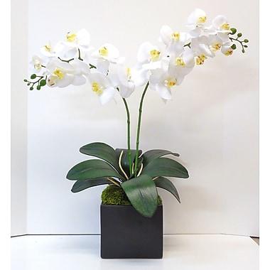 Tree Masters Inc. Phalaenopsis Orchid; White