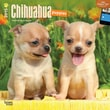 """Browntrout Publishers 12"""" x 12"""" Chihuahua Puppies Wall Calendar"""