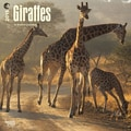 Browntrout Publishers 12in. x 12in. Giraffes Wall Calendar