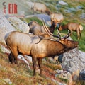 Browntrout Publishers 12in. x 12in. Elk Wall Calendar