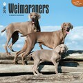 Browntrout Publishers 12in. x 12in. Weimaraners Wall Calendar