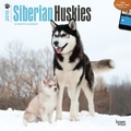 Browntrout Publishers 12in. x 12in. Siberian Huskies Wall Calendar