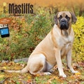 Browntrout Publishers 12in. x 12in. Mastiffs Wall Calendar