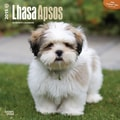 Browntrout Publishers 12in. x 12in. Lhasa Apsos Wall Calendar