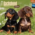 Browntrout Publishers 12in. x 12in. Dachshund Puppies Wall Calendar
