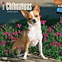 Browntrout Publishers 12 x 12 Chihuahuas Wall Calendar