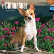 """Browntrout Publishers 12"""" x 12"""" Chihuahuas Wall Calendar"""