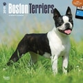 Browntrout Publishers 12in. x 12in. Boston Terriers Wall Calendar