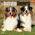 Browntrout Publishers 12in. x 12in. Australian Shepherds Wall Calendar