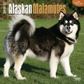 Browntrout Publishers 12in. x 12in. Alaskan Malamutes Wall Calendar