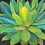 Portfolio Canvas ''Agave'' Painting Print on Wrapped Canvas