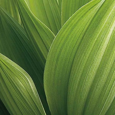 Printfinders Corn Lily by Jan Bell Photographic Print on Canvas; 16'' x 16''