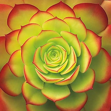 Printfinders Fiery Succulent by Jan Bell Graphic Art on Canvas; 24'' x 24''