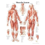 "Scientific Publishing ""Muscular System Male chart"" Wall Chart"