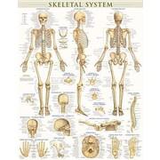 "Barcharts ""Skeletal System-Laminated"" Poster"