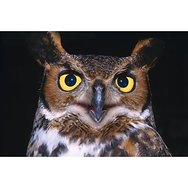 Printfinders 'Portrait Of Great Horned Owl' by David Ponton Framed Photographic Print