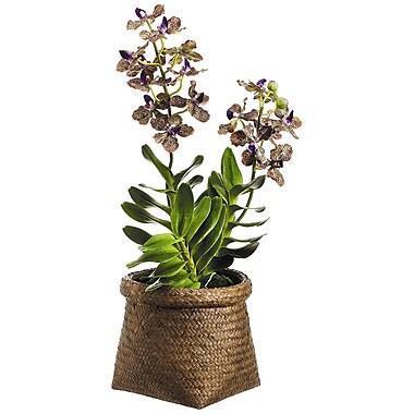 Tori Home Vanda Orchid Plant in Basket
