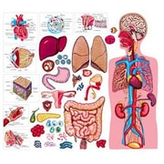 Little Folks Visuals The Human Body and Anatomy Bulletin Board Cut Out