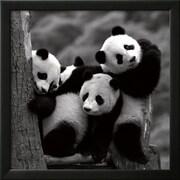 Art Danita Delimont 'Pandas' 22 x 22 (9371605)