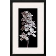 Art Angelos Zimaras 'Orchid' 27 x 18 (10216018)