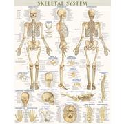 BarCharts, Inc. - QuickStudy®  Skeletal System Poster Reference Set