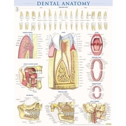 BarCharts, Inc. - QuickStudy® Dental Anatomy Poster Reference Set
