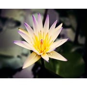 PTM Images Water Lilly Gicl e on Laminate Box Photographic Print Plaque