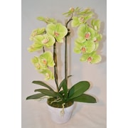 The French Bee Phalaenopsis Orchid in Pot; Yellow