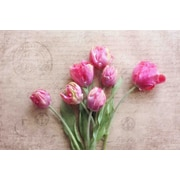 Marmont Hill Pink Tulips by Sylvia Cook Photographic Print on Wrapped Canvas; 30  H x 45  W x 1.5  D
