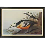 Global Gallery 'Western Duck' by John James Audubon Framed Wall Art; 31.2'' H x 46'' W x 1.5'' D