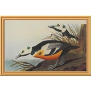 Global Gallery 'Western Duck' by John James Audubon Framed Wall Art; 26.68'' H x 40'' W x 1.5'' D