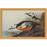Global Gallery 'Western Duck' by John James Audubon Framed Wall Art; 29.2'' H x 44'' W x 1.5'' D