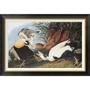 Global Gallery 'Eider Duck' by John James Audubon Framed Wall Art; 24.9'' H x 36'' W x 1.5'' D