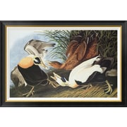 Global Gallery 'Eider Duck' by John James Audubon Framed Wall Art; 28.68'' H x 42'' W x 1.5'' D