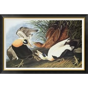 Global Gallery 'Eider Duck' by John James Audubon Framed Wall Art; 31.2'' H x 46'' W x 1.5'' D