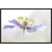 Global Gallery 'Wood Anemone' by Mandy Disher Framed Graphic Art; 12'' H x 18'' W x 1.5'' D