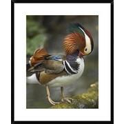 Mandarin Duck Preening, Jurong Bird Park, Singapore by Tim Fitzharris Framed Photographic Print