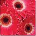 Trademark Global Amy Vangsgard in.Magenta Gerbersin. Canvas Art, 35in. x 35in.