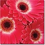 Trademark Global Amy Vangsgard magenta Gerbers Canvas Art,