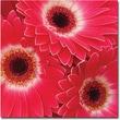 "Trademark Global Amy Vangsgard ""Magenta Gerbers"" Canvas Art, 35"" x 35"""