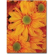 Trademark Global Amy Vangsgard Orange Daisies Canvas Art, 35 x 47