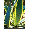 Trademark Global Amy Vangsgard in.Agave Americanain. Canvas Art, 24in. x 32in.