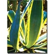 Trademark Global Amy Vangsgard in.Agave Americanain. Canvas Art, 35in. x 47in.