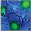 """Trademark Global Amy Vangsgard """"Blue Gerber Daisies"""" Canvas Art, 18"""" x 18"""""""