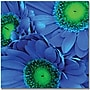 Trademark Global Amy Vangsgard Blue Gerber Daisies Canvas